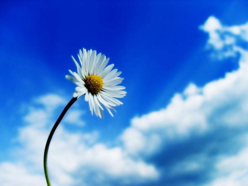 Daisy-in-the-clear-sky