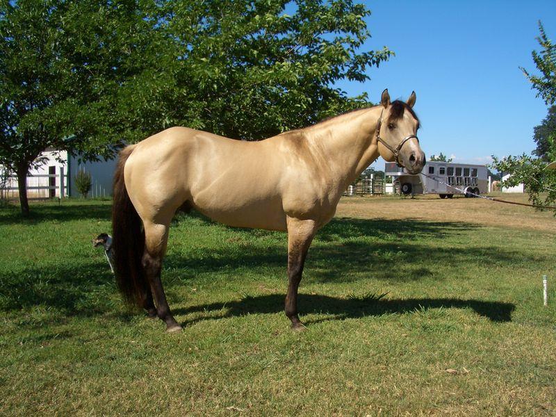 Stallion-8880