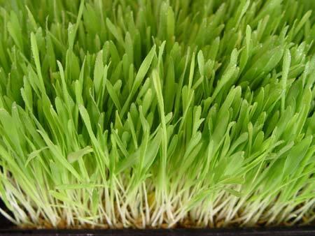 Barleygrass2